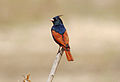Crested Bunting Melophus lathami Melghat TR 2.jpg