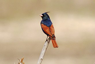 Crested bunting - Image: Crested Bunting Melophus lathami Melghat TR 2