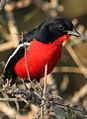 Crimson-breasted Shrike, Laniarius atrococcineus at Polokwane Nature Reserve, Polokwane, Limpopo, South Africa (14665746831).jpg
