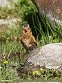 Crimson-winged Finch (Rhodopechys sanguineus) (24769380027).jpg