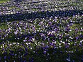 Crocuses, Dartington - geograph.org.uk - 1190249.jpg