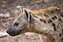the hyena 1997 youtube