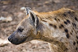 meaning of hyena