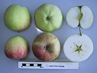Cross section of Directeur Lesage, National Fruit Collection (acc. 1949-202).jpg