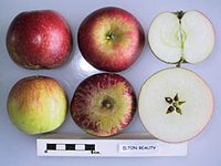 Cross section of Elton Beauty, National Fruit Collection (acc. 1963-108).jpg
