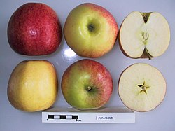 Cross section of Jonagold (LA 78A), National Fruit Collection (acc. 1982-291).jpg