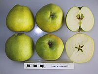 Cross section of Port Allen Russet, National Fruit Collection (acc. 1958-023).jpg