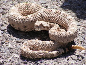 Signs and Wonders (The X-Files) - Image: Crotalus cerastes mesquite springs CA