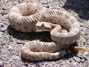 0759843e40d Rattlesnake - Wikipedia