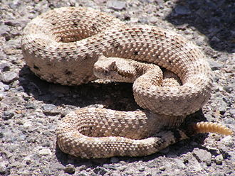 Rattlesnake - Crotalus cerastes