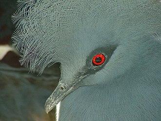 Western crowned pigeon - Image: Crowned Pigeon 08