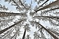 Crowns of Siberian larch in winter.jpg