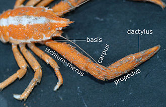 Arthropod leg - The leg of a squat lobster, showing the segments; the ischium and merus are fused in many decapods.