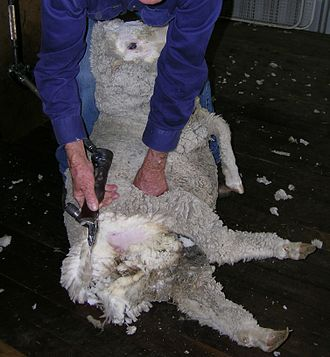Sheep shearer - Crutching a sheep that has been wigged (eye-wooled).