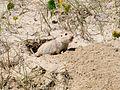 Ctenomys flamarioni cropped.jpg