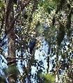 Cuckoo Roller (Leptosomus discolor) (45263192871).jpg