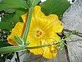 Cucurbita moschata (zapallo espontáneo) flor femenina F04 antesis vista distal (frontal, superior) pétalos estilos estigmas estaminodios tricomas margen.JPG