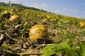 Cucurbita pepo pumpkin in patch.png