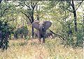 Curious elephant, Zim.jpg