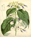 Curtis's Botanical Magazine, Plate 4315 (Volume 73, 1847).png