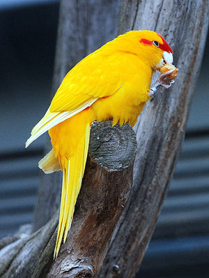 Red-crowned parakeet - Image: Cyanoramphus novaezelandiae yellow mutant 4c