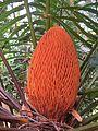 Cycas circinalis at Mayyil 2015 (2).jpg