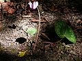 Cyclamen purpurascens001.jpg