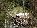 Cygnus olor (brütend) - Holzbrücke 2012-04-26 12-51-52 (P7000).JPG