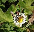 Cylindromyia species. Tachinidae (44883633971).jpg