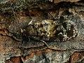 Cymolomia hartigiana - Plumbeous spruce tortrix (39482837380).jpg