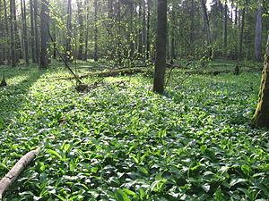 Polski: Czosnek niedźwiedzi Allium ursinum w P...