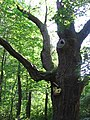 Dąb w Chocimiu (Park Krajobrazowy Góry Opawskie) 08.jpg