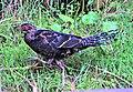 DSC09215 WDPA ID9030 玉山國家公園發現長大中的帝雉.jpg