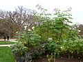 Dahlia imperialis-Jardin des plantes 05.JPG
