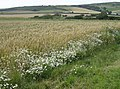 Daisies and barley - geograph.org.uk - 502291.jpg