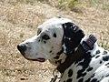 Dalmatian head.jpg