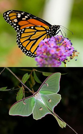 Lepidoptera - Monarch butterfly and luna moth, two widely recognized lepidopterans