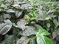 Darjeeling Tea Plant.jpg
