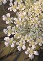 Daucus carota flowers, peen 'Napoli' (1).jpg