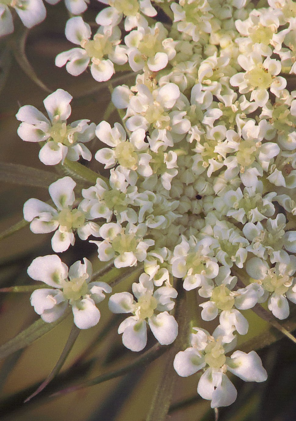 Daucus carota flowers, peen %27Napoli%27 (1)