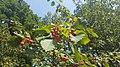 Decorative viburnum with fruit.jpg