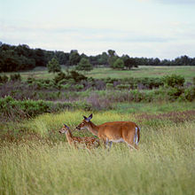 Two red-brown colored deer graze among tall grass and purple flowers in a meadow.