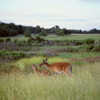 Virginia - Image: Deer Big Meadow (13082497565)