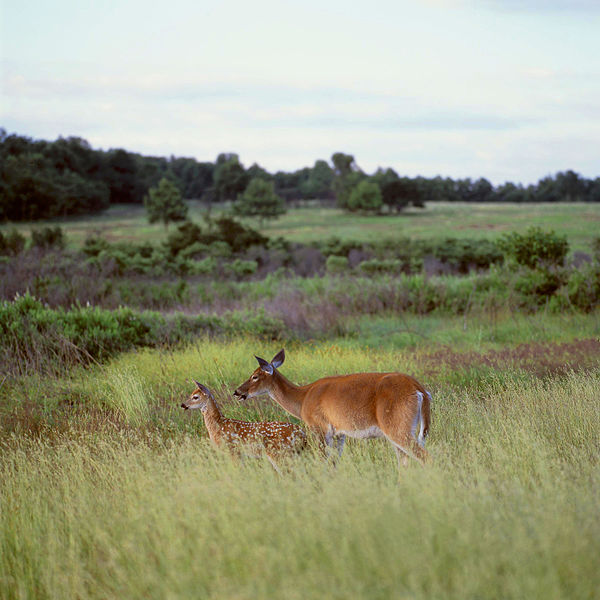 File:Deer Big Meadow (13082497565).jpg