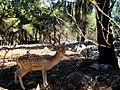 Deer at Kastoria.jpg