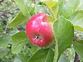 Delicious apple - Flickr - davispuh.jpg
