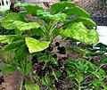 Delissea rhytidosperma (5454954089).jpg