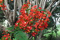 Delonix regia (Flanboyant tree).Ghana.JPG