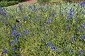 Delphinium grandiflorum Dwarf Blue Butterfly 6zz.jpg