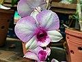Dendrobium cultivar 89.jpg